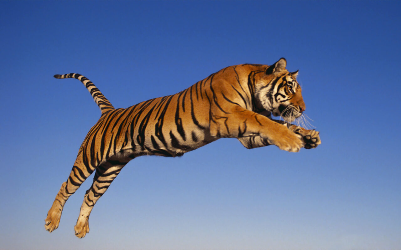 bengal_tiger_by_zach_rae